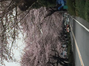 西門桜並木2016②