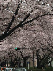 西門桜並木2016